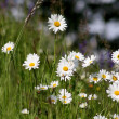 Marguerite Flowers — Stock Photo #2465584