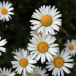 Stock Photo: Marguerite Flowers