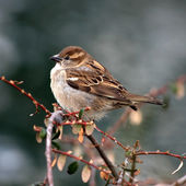 Sparrow (passer domesticus) — Stock Photo