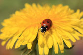 Ladybug on a Yellow Flower — Stock Photo