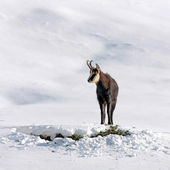Chamois buck in the snow — Stok fotoğraf