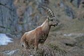 Young Capra Ibex — Stock Photo