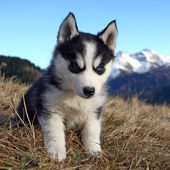 Puppy Dog in front of a Mountain Scenery — Stok fotoğraf