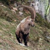Old Capra Ibex — Stockfoto