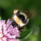 Bumblebee sucking on a red clover — Stok fotoğraf