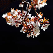 Cherry tree branch in bloom — Стоковое фото