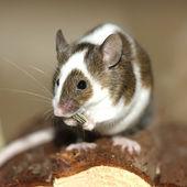 若いマウス — ストック写真