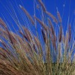 Grass in front of a Blue Sky - Stock Photo