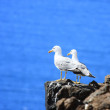 Two Sea-Gulls standing together - Stock Photo
