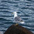 Gull standing on a Stone — Stock Photo