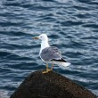 Gull standing on a Stone - Stock Photo