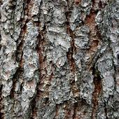 Schors van de pijnboom — Stockfoto