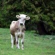 Stock Photo: Young Brown Cow