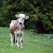 Young Brown Cow — Stok fotoğraf