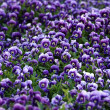 Violet ViolFlowers — Stock Photo #2561351