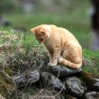 Orange Cat — Stock Photo