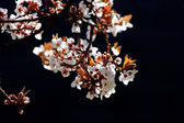 Cherry tree branch in bloom — Stok fotoğraf