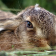 Young rabbit in grass — Stock Photo #2635701