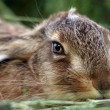 Stock Photo: Young rabbit in grass