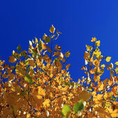 Autumn Leaves against Blue Sky — Stok fotoğraf