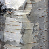 Bark of a Birch — Foto Stock
