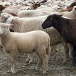 Herd of Sheep — Stock Photo #2656309