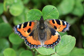 Small Tortoiseshell Butterfly — Stock Photo