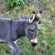 Young gray donkey - Stock Photo
