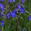 Speedwell - Veronica Chamaedrys - Stock Photo