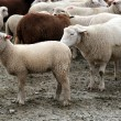 Stock Photo: Herd of Sheep