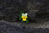 Viola Flower - Viola Tricolor — Stock Photo