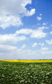 Flowering field under the summer sky — Stock Photo