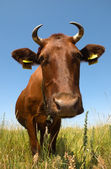 Cow in a field — Stock Photo