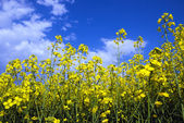 Yellow rape flowers against the blue sky — Stock Photo