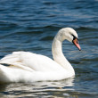 Distinguished beautiful swan - Stock Photo