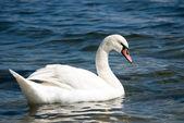 Distinguished beautiful swan — Stock Photo