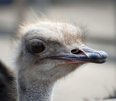 Curious african ostrich head close-up — Stock Photo