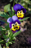 A pair of pansy blossom — Stock Photo