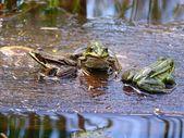 Frog — Stok fotoğraf