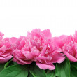 Peony over white background — Stock Photo