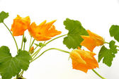 Squash flower and leaves isolated — Stock Photo