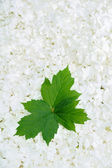 Guelder rose blossoms and leaves — Stock Photo