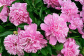 Bouquet of fresh pink peonies — Stock Photo