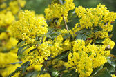 Mahonia blossom — Stock Photo