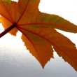 Leaf of  ricinus communis - Stock Photo