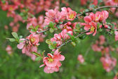 Japanese quince branch - blossoming — Stock Photo