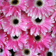Pink gerber flowers - background — Stock Photo