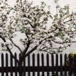 Stock Photo: Apple trees clothed in blossoms
