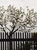 Apple trees clothed in blossoms — Stock Photo