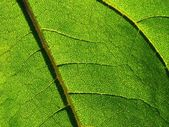 Leaf of sunflower - detail — Stock Photo